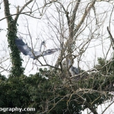 The Wildlife Trusts - Lower Moor Farm - Grey Heron nest