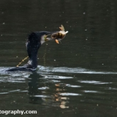The Wildlife Trusts - Lower Moor Farm - Cormorant eating Perch