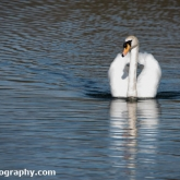 The Wildlife Trusts - Lower Moor Farm - Mute Swan