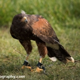 Millets Farm Falconry Centre - Harris Hawk