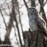 Millets Farm Falconry Centre - Ural Owl