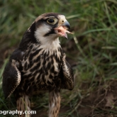 Millets Farm Falconry Centre - Lanner Falcon