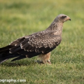 Millets Farm Falconry Centre - Yellow-billed Kite