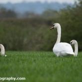 Mute Swans feeding on a farmers crop