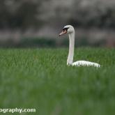 Mute Swan feeding on a farmers crop