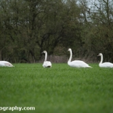 Mute Swans feeding on a farmers crop