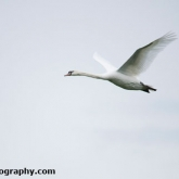 Mute Swan coming in to land to feed on a farmers crop