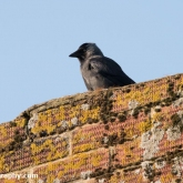Jackdaw on chimney nest