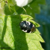 Pied Shieldbug (Tritomegas bicolor) on host plant white dead-nettle