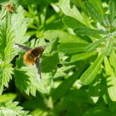 Dark-edged Bee-fly (Bombylius major)