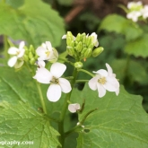 Garlic mustard with orange-tip butterfly egg