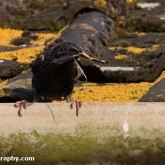 Starling with nesting material