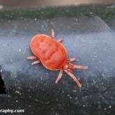 Clover mite
