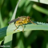 Yellow Dung Fly (Scathophaga stercoraria)