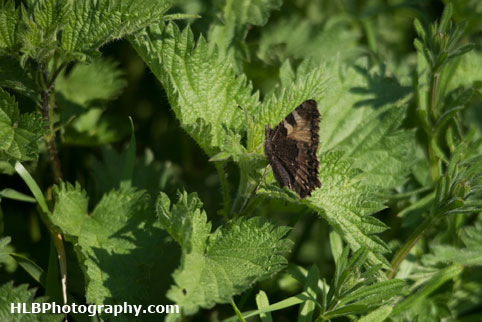 My Patch - Small tortoiseshell