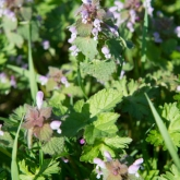My Patch - Red dead-nettle