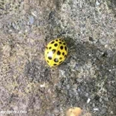 My Patch - 22-spot ladybird (Psyllobora vigintiduopunctata)