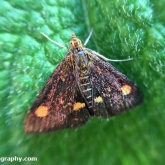 My Patch - Mint Moth