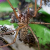 My Patch -  Large House Spider (Tegenaria gigantea)