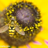 My Patch - Hoverfly Syrphus ribesii