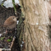 My Patch - Wren in the snow