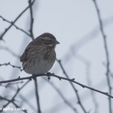 My Patch - Reed Bunting