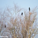 My Patch - Cormorants