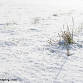 My Patch - Tufts of grass through the snow