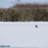 My Patch - Rook in the snow