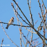 My Patch - Goldfinch