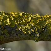 My Patch - Yellow wall lichen