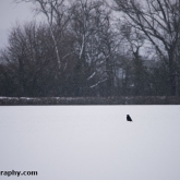 My Patch - Carrion crow in the snow