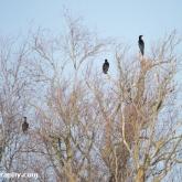My Patch - Cormorants