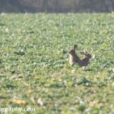 My Patch - Brown hare