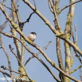 My Patch - Long-tailed tit