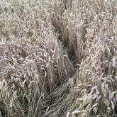 Animal tracks through the wheat (phone image)
