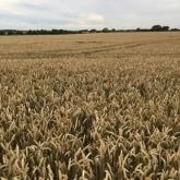 Wheat field (phone image)