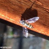 My Patch - Marmalade hoverfly