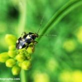 My Patch -  Common nettle bug (Licoris triptulatus)