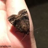 My Patch - Copper Underwing