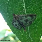 My Patch - Small Magpie Moth (Eurrhypara hortulata)