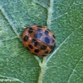 My Patch - Harlequin (succunea) ladyird (Harmonia axyridis)