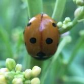 My Patch - 7-spot ladybird (Coccinella septempunctata)
