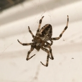 My Patch - Garden Spider (Araneus diadematus)