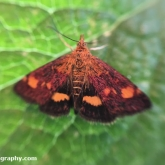 My Patch - Mint moth (Pyrausta aurata)