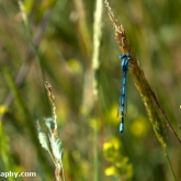 My Patch - Common blue damselfly