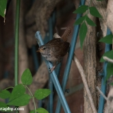 My Patch - Wren