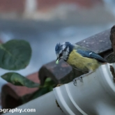 Blue Tit with food