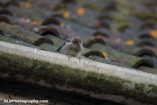 My Patch - Fledgling house sparrow
