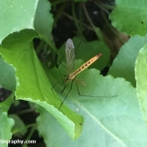 My Patch - Tiger Cranefly (Nephrotoma flavescens)